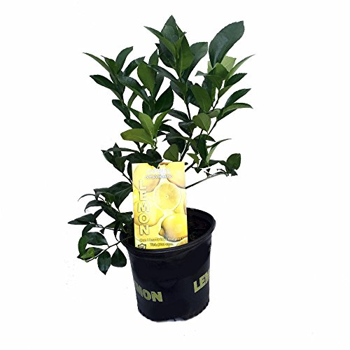 Meyer Lemon Tree - Fruiting Size/Branched Plant - 8