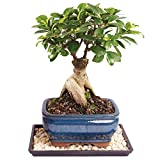 Brussel's Gensing Grafted Ficus Bonsai – Small (Indoor) with Humidity Tray & Deco Rock Review