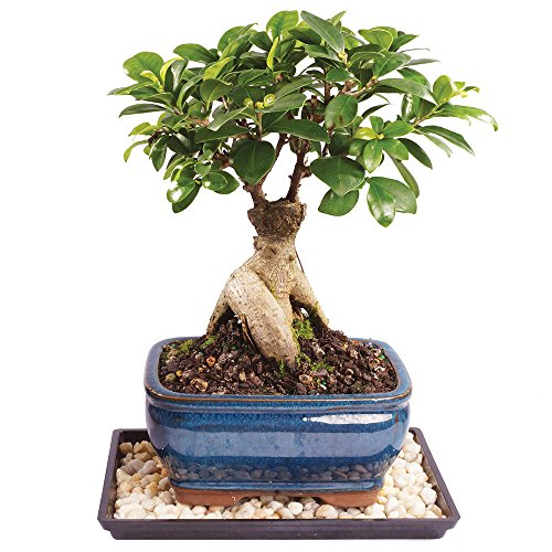 Brussel's Gensing Grafted Ficus Bonsai - Small (Indoor) with Humidity Tray & Deco Rock -