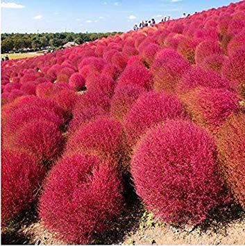 300PC種子寧BUHコキアのcoparia種子ガーデンオーナメントEAYは赤色F58種々の成長します