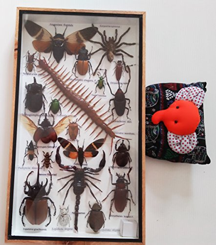 Real Rare Big Set Mixed Insect Insects Box Display Taxidermy Framed Jewel Beetle Spider Cicada Xylotrures Gideon Collectible Entomology Gphsy Home Decoration Gift Handmade Wood Wooden Bug Bugs 3D