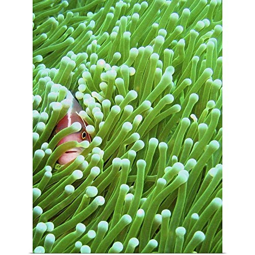 Pink Skunk Clown Fish - GREATBIGCANVAS Poster Print Entitled A Pink Skunk Clownfish sneakily Peeps Through its Magnificent sea Anemone Home by 18