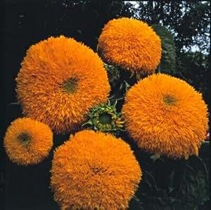 Helianthus (Sunflower) Orange Sun 250 seeds