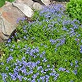 Outsidepride Creeping Speedwell - 1000 Seeds
