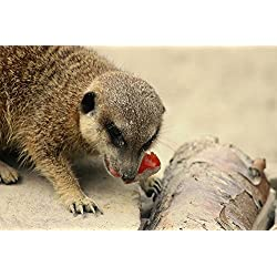 Gifts Delight LAMINATED 36x24 inches POSTER: Meerkat Food Meercat Scharrtier Cute Mammal Animal Portrait Nature Zoo Mongoose Wildlife Photography Fur Small Feed Time Food Intake Eat Nibble