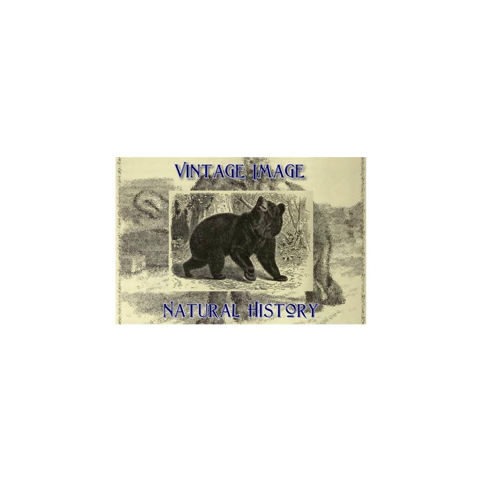 "7.5cm x 5cm (3"" x 2"") Acrylic Fridge Magnet Vintage Natural History Image American Black Bear   Refrigerator Magnets"