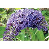 "Adonis Blue TM English Butterfly Bush - Buddleia - Proven Winner - 4"" pot"