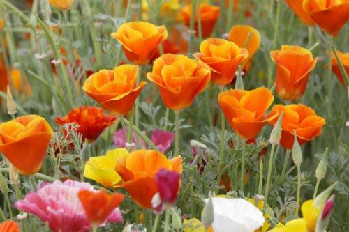 California Poppy Mission Bells - Poppy, California, Mission Bells Mix, 1000 Seeds! Groco