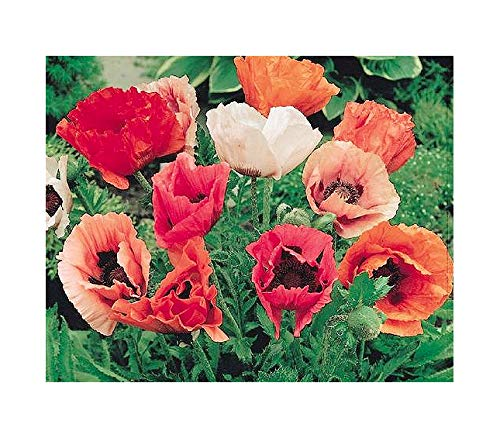 Marde Ross & Company 10,000 Oriental Poppy Seeds - Perennial in Mixed Colors