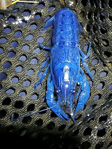 Polar Bear's Pet Shop Female Electric Blue Crayfish Live Fish Crawfish crawdad Lobster Shrimp Aquarium from Polar Bear's Pet Shop