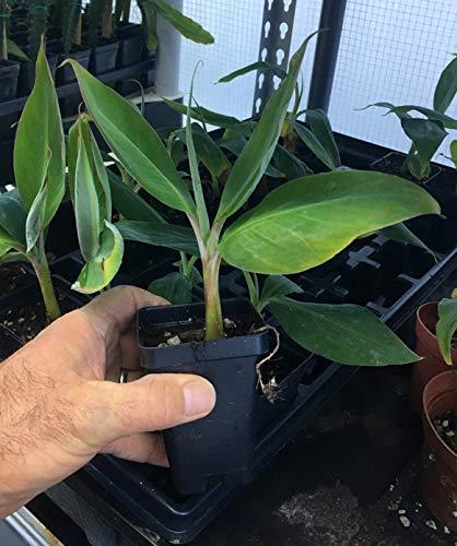 Ice Cream Banana Plant - Live Banana Tree''Ice Cream'' Rare Banana Plant by Natures Garden Nursery (Image #3)