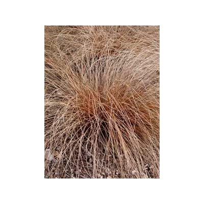 (10 Count Flat of 1 Liner Pots) 'Toffee Twist' Copper Sedge Grass (Perennial) Very Attractive, Mocha Brown Foliage, Arching Mound : Garden & Outdoor