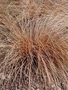 (10 Count Flat of 1 Quart Pots) 'Toffee Twist' Copper Sedge Grass (Perennial) Very Attractive, Mocha Brown Foliage, Arching Mound