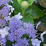 Hydrangea Involucrata Blue Bunny 4 Inch Pot Starter Plant Dormant AFND-101