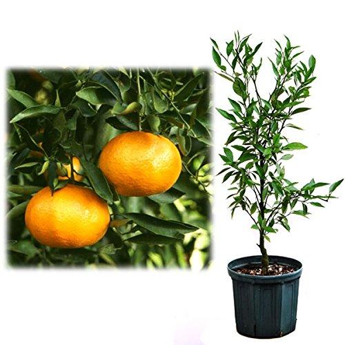 鉢植え果樹 たまみ 8号鉢植え[柑橘かんきつ類苗木] B06XKZY7TY