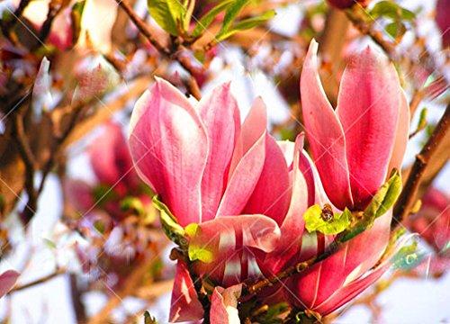 Yulan Magnolia (10pcs/bag Rare Genie Genie Dark Red Yulan Magnolia Tree Flower Seeds Professional Pack Light Fragrant Garden Tree for home gar)