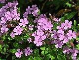 Organic Flower seeds Soapwort (Saponaria ocymoides) Milnianka - 100 Seeds.