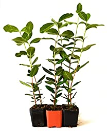9Greenbox Mature Nice Plants, Pineapple Guava, 4 Pound (Pack of 6)