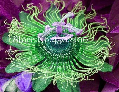 (50 pcs Passion Flower Seeds (Passiflora incarnata), Rainbow Flower Plant Exotic Passion Fruit Passiflora edulis for Home garden5 )