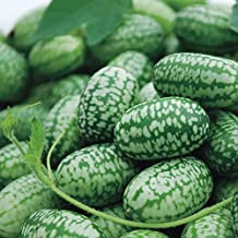 """Cucamelon Tiny 1 1/2"""" crispy cucumber, Cute Fruit, Grows in Conatiners, Looks Like Tiny Watermelons 30"""