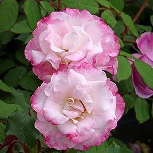 Rose Our Millie for Birthdays /& All Occasions Superb Living Plant /& Flower Gift Idea for Mum,Mom,Women,Girl