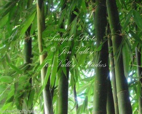 Exotic Bamboo (Dendrocalamus Hamiltonii Exotic Giant Clumping Bamboo Seeds Asian Native)