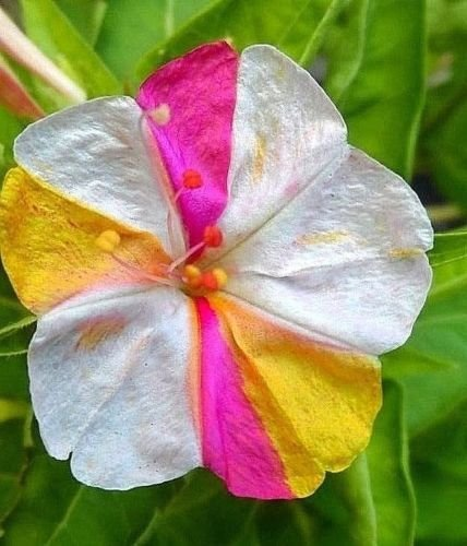 Four-O-Clock Seeds - Beautiful Bicolor Mix (every flower is different)