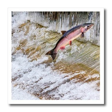 3dRose Danita Delimont - fish - Salmon jumping up a fish ladder. Issaquah Hatchery, Washington - 8x8 Iron on Heat Transfer for White Material (ht_260549_1)