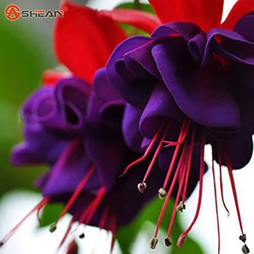 Loss Promotion! Purple Double Petals Fuchsia Seeds Potted Flower Seeds Potted Plants Hanging Fuchsia Flowers 50 Particles / Bag