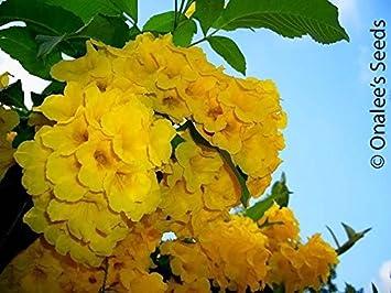 Amazon yellow elder esperanza yellow bells hardy yellow yellow elder esperanza yellow bells hardy yellow trumpet trumpet flower mightylinksfo