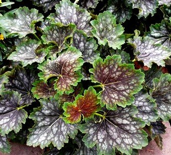 Heuchera Hybrid (Marvelous Marbles Coral Bells 50 Seeds - Heuchera)