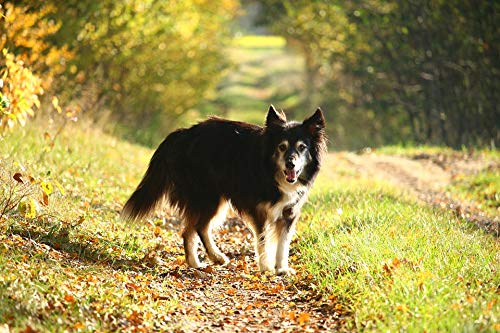 (Home Comforts Peel-n-Stick Poster of Autumn Dog Away Fall Foliage Border Collie Collie Vivid Imagery Poster 24 x 16 Adhesive Sticker Poster Print)
