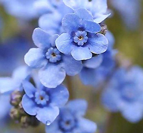 Amazon Chinese Forget Me Not Sprays Of Small Blue Flowers