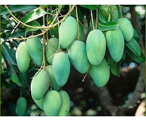 Modern Plants Live Mango All Season/Aam Baramasi Fruit Healthy Plant