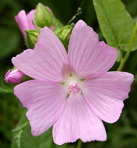 Amazon rose pink mallow 20 seeds 175 mg perennial amazon rose pink mallow 20 seeds 175 mg perennial flowering plants garden outdoor mightylinksfo