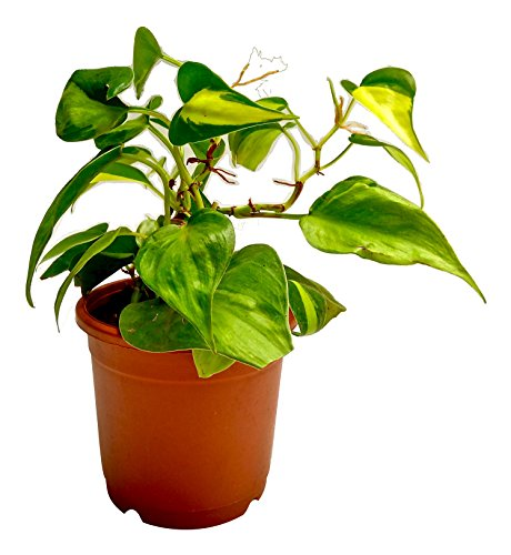 Root Bridges Brasil Philodendron Indoor Plant (Pot included)