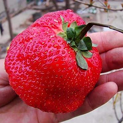 HOTUEEN 100 pcs/Bag Giant Strawberry Seeds Home Garden Plant Seeds Fruits : Garden & Outdoor