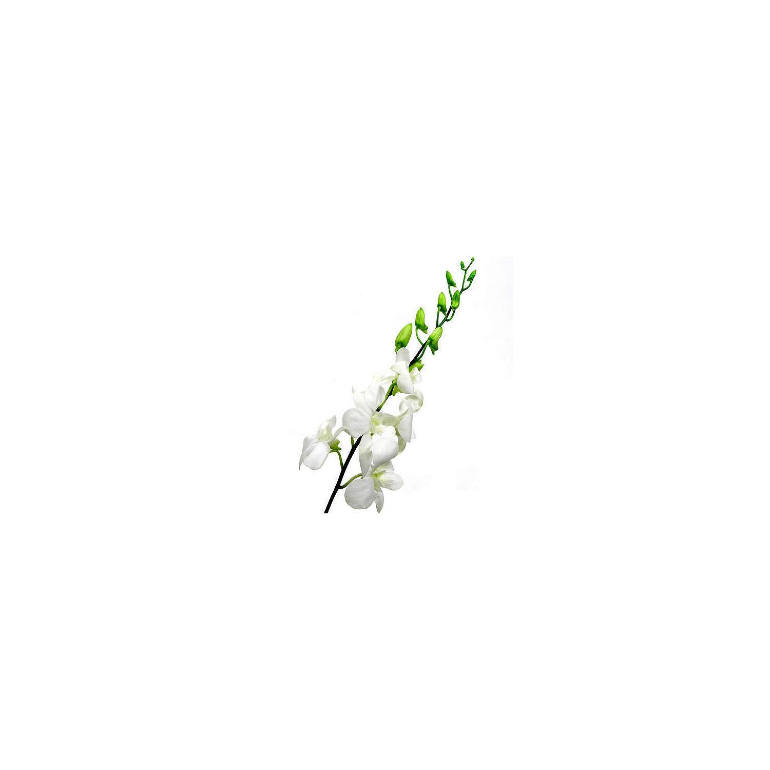 Orchid - Dendrobium White - 70 Stems by Orchid