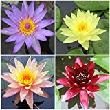 Water Lily Bundle - 4 Pre-Grown Hardy Lilies Rhizomes in Purple, Red, Yellow, Orange from AquaLeaf Aquatics