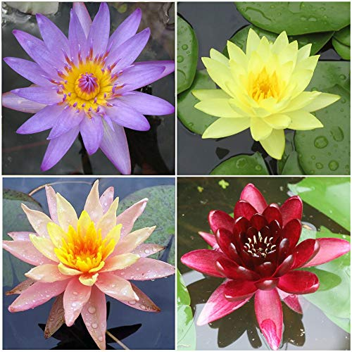 (Water Lily Bundle - 4 Pre-Grown Hardy Lilies Rhizomes in Purple, Red, Yellow, Orange from AquaLeaf Aquatics)