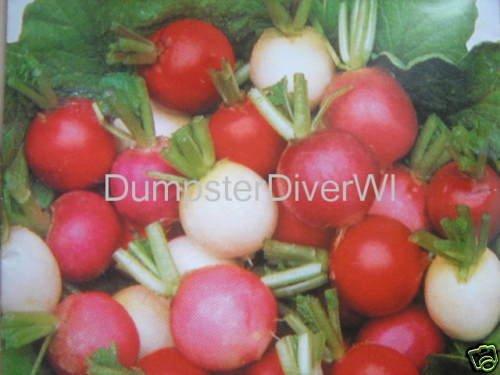 Easter Egg Mix Radish 100+ Seeds 25 Days to Harvest Organic - 25 Radishes Seeds