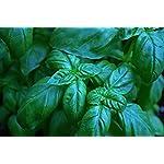 150 Sweet Basil Seeds - Genovese Ocimum Basilicum, Pesto Basil