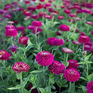 Zinnia Gigantica Purple 1,000 Seeds 2
