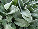 Lamb's Ear - 150 Seed - Heirloom - Stachys
