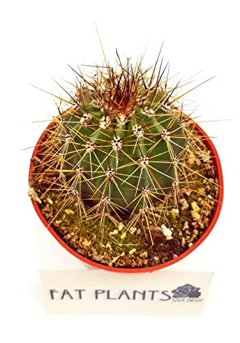 FATPLANTS Cactus Plants in Gift Box   Rooted in 4 inch Planter Pots with Soil   Living Indoor or Outdoor Plants -