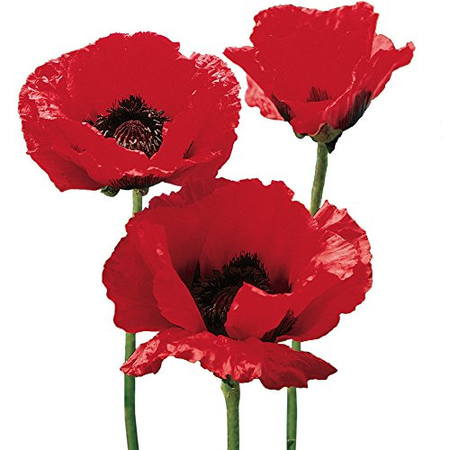 Burpee Brilliant Red Oriental Poppy Seeds 1200 (Oriental Poppies Seed)