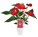 "Kurt Weiss Greenhouses Anthurium in 3"" White Ceramic Pot, Red Bloom"