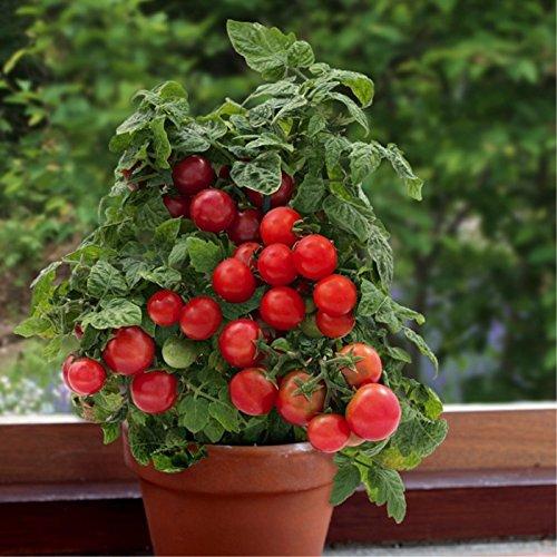 - Tomato 'Vilma' (Lycopersicon Esculentum) Determinate Vegetable Plant Heirloom,20-30 Seeds