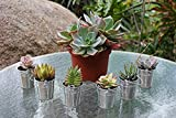 Jiimz 50 Gorgeous Succulents In 50 Adorable Silver Pail ... Complete Wedding Favor Kit