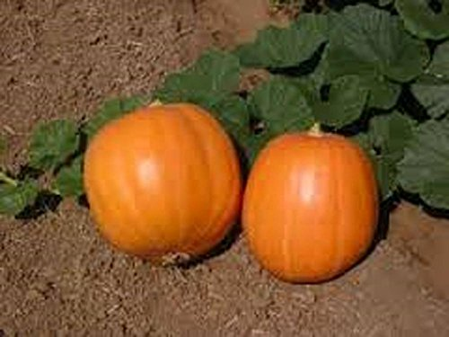 Pumpkin , Jack O Lantern Pumpkin seeds , Heirloom, Organic, Non Gmo, 20 Seeds
